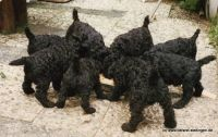 Kerry Blue Terrier Welpen